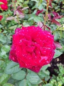 Zumbihl-Florence-Natur-Sommer-2018-Rose-nach-dem-Regen