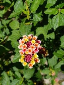 Zumbihl-Florence-Natur-Sommer-2018-Wandelröschen
